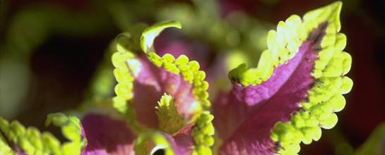 A Festive Lettuce Plant