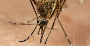 Mosquito Courtesy of HiddenNature